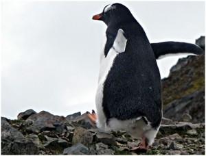 penguin-walk-robert-point